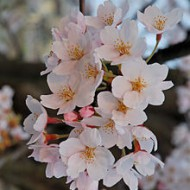 220px-2007_Sakura_of_Fukushima-e_007_rotated